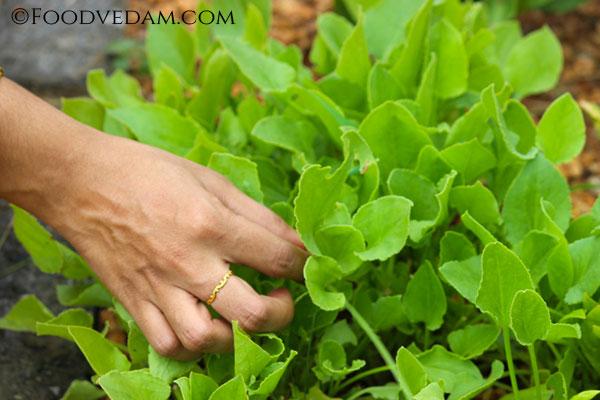 garden-sorrel-leaves